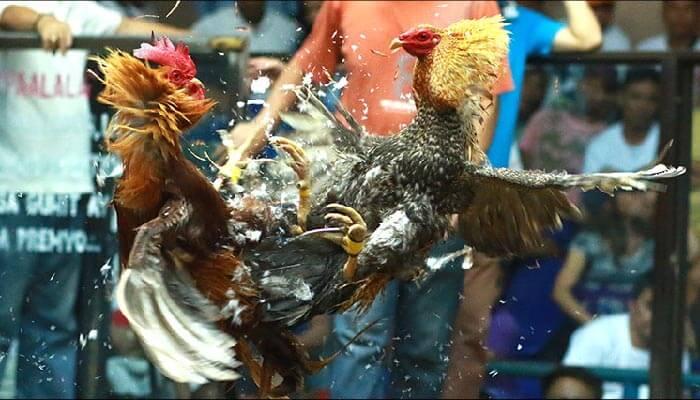 Ciri-Ciri & Kelebihan Ayam Bangkok Bulu Biang Bulbi