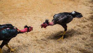 Kenali Ciri-Ciri & Keunggulan Ayam Vietnam Saigon Asli