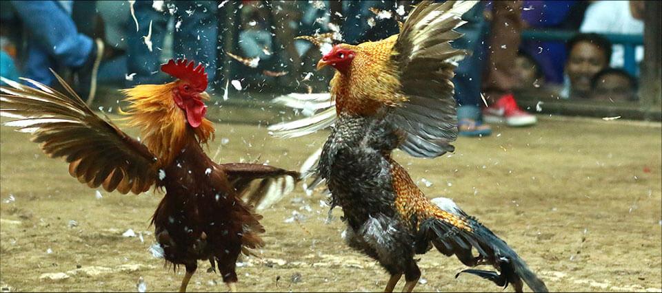 Keunggulan Ayam Bangkok Bulu Biang Bulbi Saat Berlaga di Arena